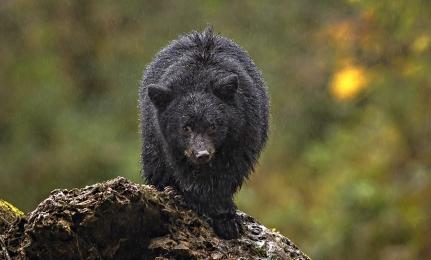 <h5>Great Bear Rainforest, BC   _DZ65009 </h5>