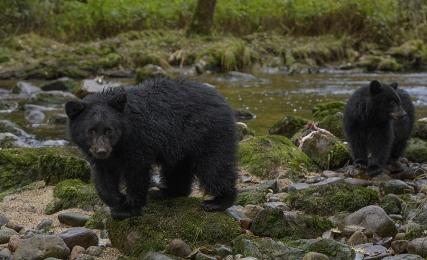 <h5>Great Bear Rainforest,   _Z719268</h5>