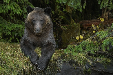 <h5>Great Bear Rainforest, BC _DZ68597 </h5>