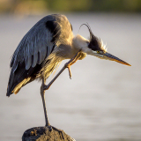 <h5>Cottage Country Blue Heron_Z729360</h5>