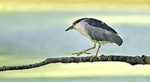 <h5>Black Crowned Heron, Ottawa</h5>