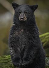 <h5>Great Bear Rainforest_Z722482</h5>