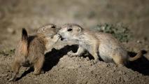 <h5>Prairie Dogs, Saskatchewan</h5>