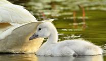 <h5>Trumpeter Swan Cygnet Ontario_Z726760 </h5>