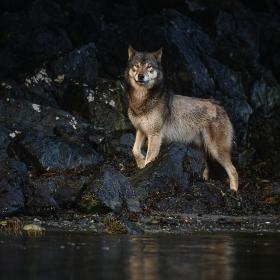 <h5>Wolf_DZ60434</h5>