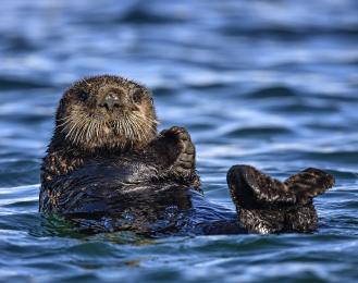 <h5>Sea otter DZ60823 </h5>