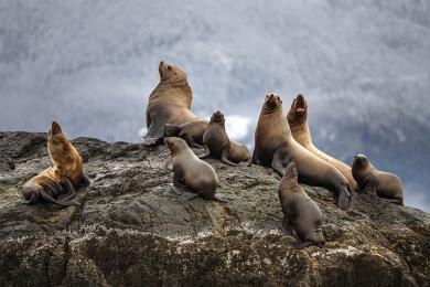 <h5>Sellar Sea Lions_Z711451</h5>
