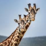 <h5>Giraffes_DZ63373</h5>