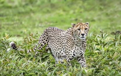 <h5>Cheetah Z722995</h5>