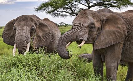 <h5>Elephants_DZ65047 </h5>
