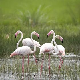 <h5>Flamingos_Z713420 </h5>