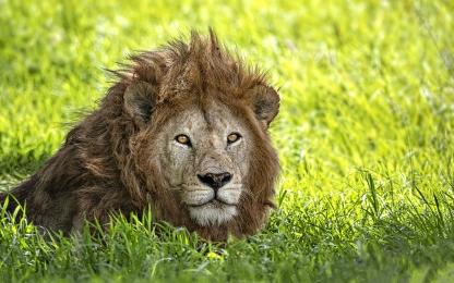 <h5>Lion_DZ64497</h5>