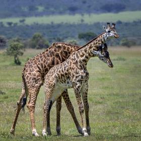 <h5>Giraffes_DZ63300</h5>
