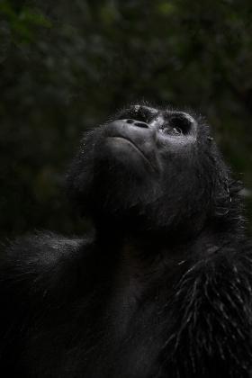 <h5>Gorilla _DZ60003.</h5>
