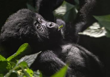 <h5>Baby Gorilla DZ60885</h5>