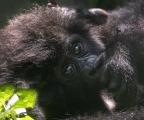 <h5>Baby gorilla_DZ60820</h5>