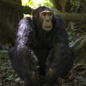 <h5>Chimp Z725762</h5>