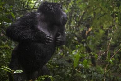 <h5>Gorilla DZ69848 Uganda</h5>