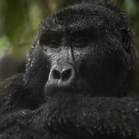 <h5>Gorilla DZ68635 Uganda</h5>