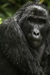 <h5>GORILLA_DZ69060 Uganda</h5>