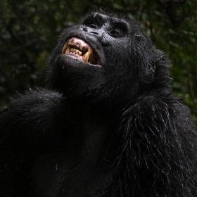 <h5>Gorilla_DZ69967</h5>