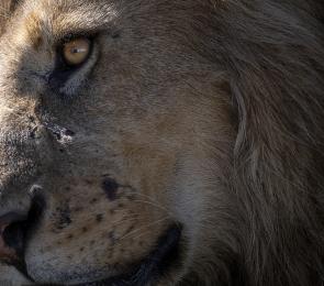 <h5>Lion_Z724749</h5>