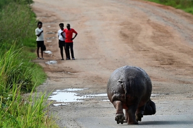 <h5>Hippo on road</h5>