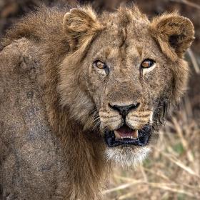 <h5>Lion_DZ67034.</h5>