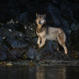 <h5>Wolf_DZ60434 </h5>