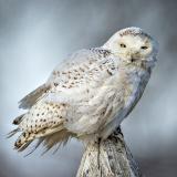 <h5>Snowy Owl _D4S5388.</h5>