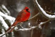 <h5>Cardinal _DZ63931  </h5>
