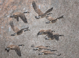 <h5>Canada Geese March 202</h5>