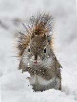 <h5>Squirrel DZ64021 </h5>