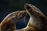 <h5>Stellar sea lions_DZ62054.</h5>