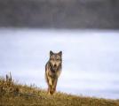 <h5>Coastal Wolf_DZ62167</h5>