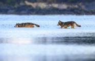 <h5>Coastal Wolves _DZ60062b</h5>