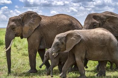 <h5>Elephants DZ64946</h5>