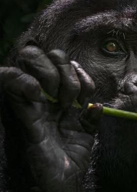 <h5>Gorilla_DZ60765</h5>
