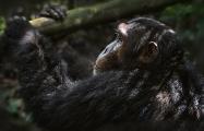 <h5>Chimp Z725815.</h5>