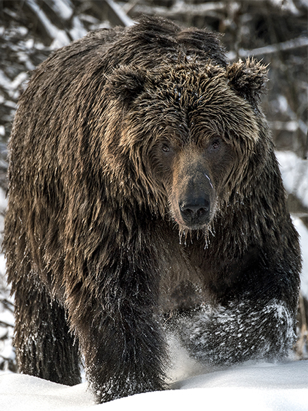 Ice grizzly bear yukon canada snow subarctic late autumn bears