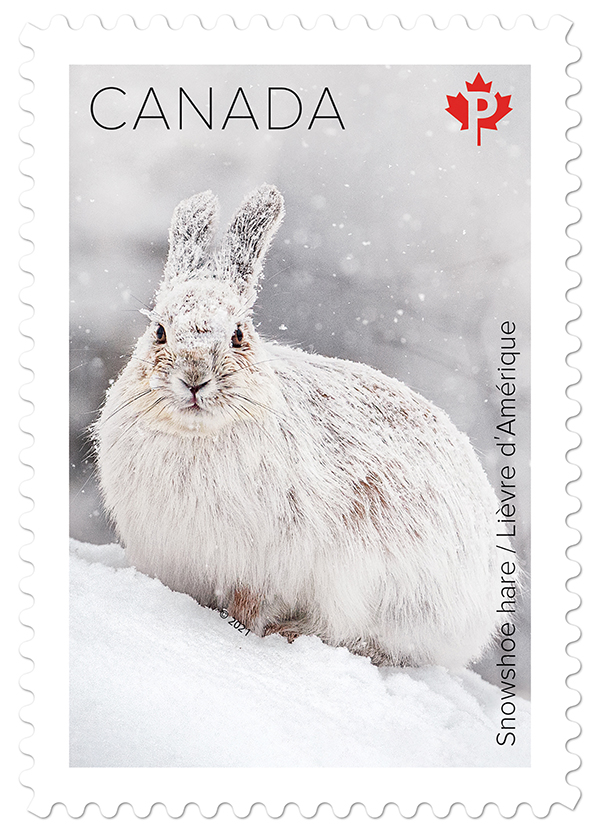 snowshoe hare on a canada post stamp ottawa